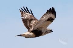 Rough-Legged Hawk Soaring