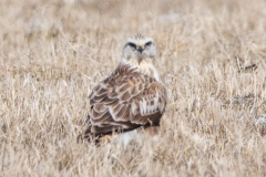 Rough-Legged Hawk Looking