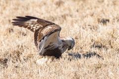 Rough-Legged Hawk Wings Up