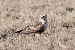 Rough-Legged Hawk in Field