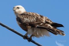 Rough-Legged Hawk on Wire