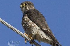 Merlin on a Wire