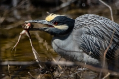 Yellow Crowned Night Heron with Frog