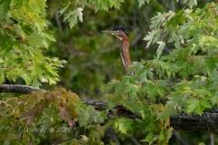 Green Heron Peeking