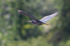 Green Heron  Flying