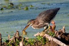Green Heron Hunting Frogs