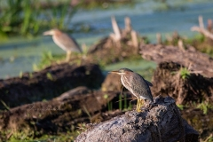 Mirror Images of Green Herons
