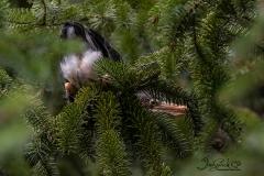 Green Heron Fledgling 1