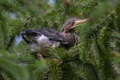 Green Heron Fledgling 2