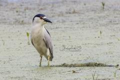 Black-Crowned Night Heron Fishing 2