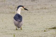 Black-Crowned Night Heron Fishing