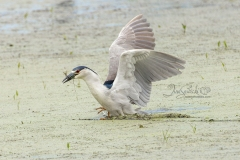Black-Crowned Night Heron Fishing 3