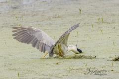 Black-Crowned Night Heron Fishing3