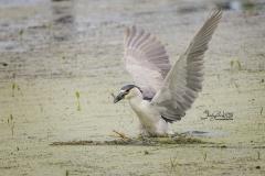 Black-Crowned Night Heron Fishing2