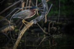 Green Heron Portrait