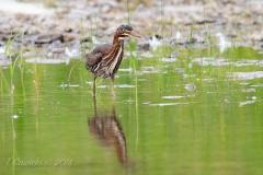 Green Heron In Waters