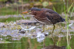 Green Heron Looking for Fish
