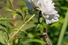 Ruby-Throated Hummingbird Zoomed Peony