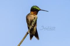 Ruby-throated Hummingbird2