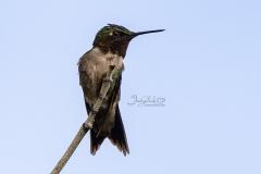 Ruby-throated Hummingbird 3