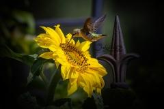 Hummingbird Sunny Moment