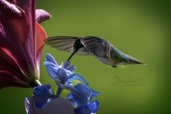 Feeding Ruby-Throated Hummingbird