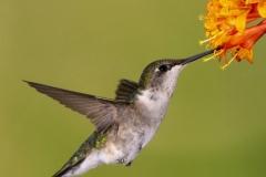 Ruby-Throated Hummingbird 10