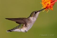 Ruby-Throated Hummingbird 12