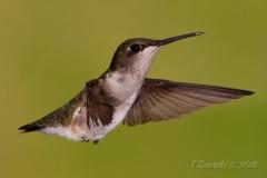 Ruby-Throated Hummingbird 13
