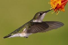 Ruby-Throated Hummingbird 14