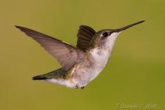 Ruby-Throated Hummingbird 15