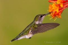 Ruby-Throated Hummingbird 18