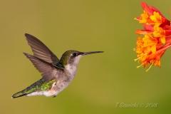 Ruby-Throated Hummingbird 19