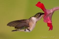 Ruby-Throated Hummingbird 16