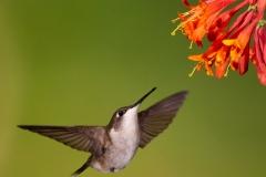Ruby-Throated Hummingbird 17