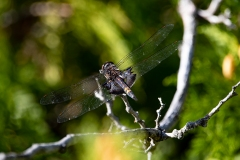 Black Saddle Bags Dragonfly