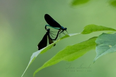 Damselfly Latched