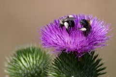 Bees on Thistle
