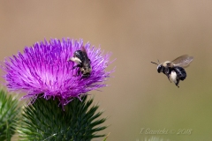 Bees Flying on Thistle