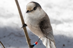 Canada Jay with Bling