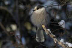 Winter Canada Jay