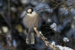 Winter Canada Jay 2