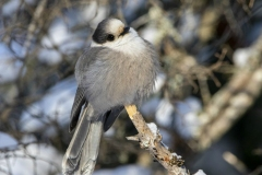 Canada Jay Poofed to Stay Warm