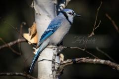 Blue Jay in Birch