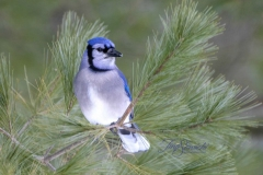 Blue Jay In Pines