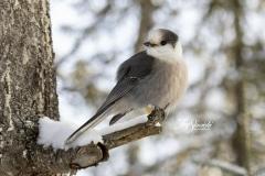 Canada Jay in Winter