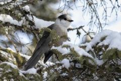 Snowy Canada Jay