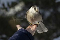 Canada Jay Hand Feeding