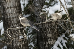 Canada Jays in Snow