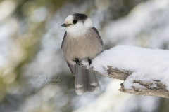 Canada Jay on Snowy Branch